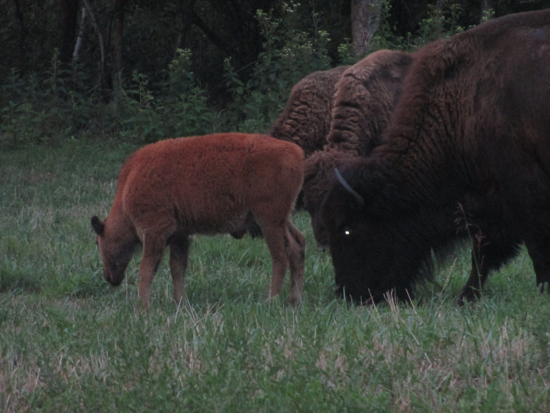 Bison at the Elk and Bison Prairie 22