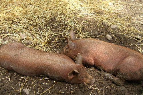 As Content as two Pigs in the Mud!