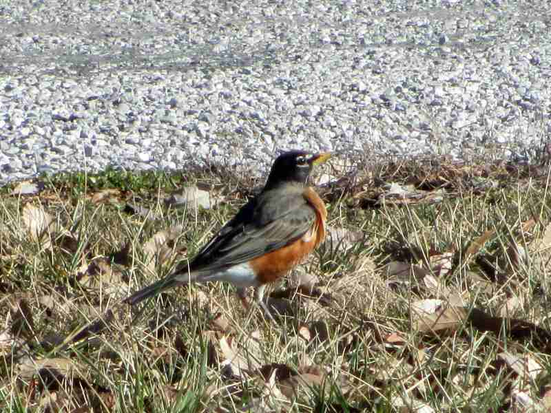 First Robin of Spring